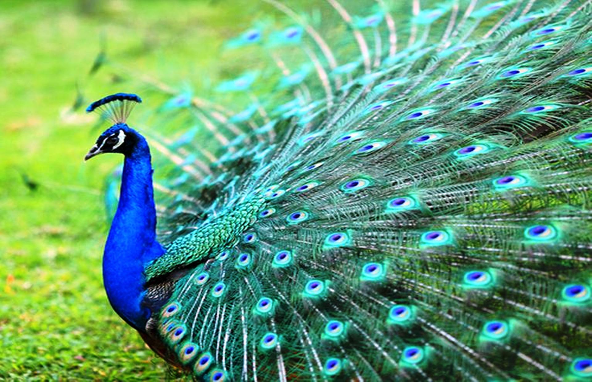peacock180914